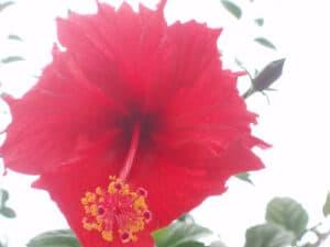 Malaysia National Flower